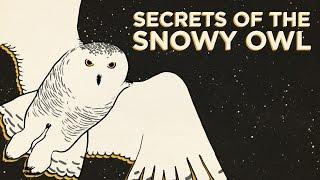 Download Secrets Of The Snowy Owl   Field Trip!   SKUNK BEAR Video
