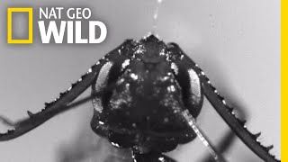 Download 'Monster' Ants Attack Prey Faster Than the Blink Of an Eye | Nat Geo Wild Video