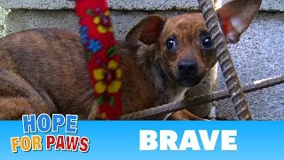 Download After being used for breeding, little Brave was abandoned on the streets. Video