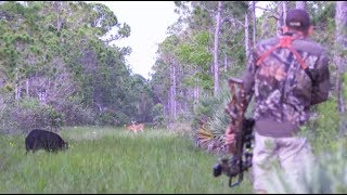 Download Wild Boar Spot n' Stalk With Recurve Crossbow! {Catch Clean Cook} Video