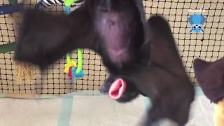 Download Baby Black Flying-Foxes: these are Tigger and Jaffar Video