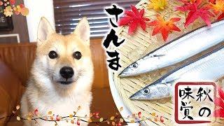 Download 大好物の秋刀魚を貪る柴犬 Video
