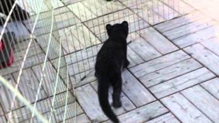 Download 浜松市動物園 クロヒョウっ仔 Video
