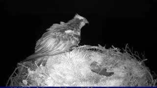 Download EJ defends nest vs Pine Marten (glimpsed) ~ ©RSPB Loch Garten & Carnyx Wild 1 Video