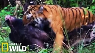Download Combat entre un tigre et un sanglier - Les animaux déraillent Video