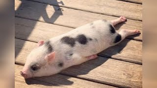 Download Did you know that PIGS CAN BE SO FUNNY? - FUNNY PIG VIDEOS will make you DIE LAUGHING Video
