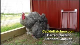 Download Barred Cochin Standard Chicken Breed (Breeder Flock) | Cackle Hatchery Video