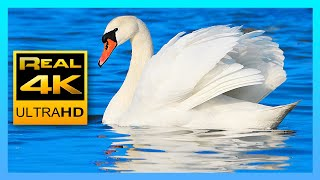 Download 4k Peaceful Lake Sounds & Relaxing Piano Music 🐦 Canadian Goose, Swans and Seagulls 2 hours 4K UHD Video