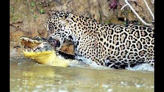 Download Jaguar kills cayman - Attacks large cats Video