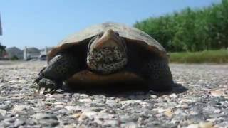 Download Ocean City's Diamondback Terrapins Video