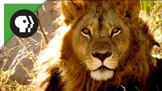 Download Maned Lioness Displays Both Male and Female Traits Video