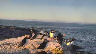 Download Puffin Loafing Ledge Cam 07-20-2018 16:14:11 - 16:42:32 Video