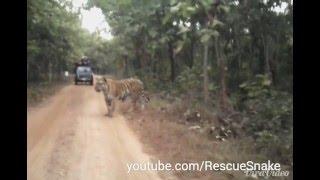 Download Biggest Tiger in India Jay at Umred Karhandla Video