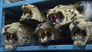 Download Exotic animal trade exposed Video