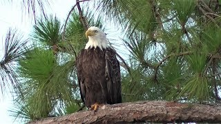 Download SWFL Eagles Harriet Is Seen In The Nest Area & Breakfish At Yonder Pond 07-31-18 Video