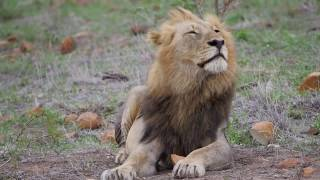 Download A Very Handsome Lion Video