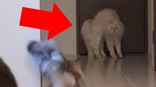 Download 【貴重映像】◯◯に驚いたマロン、一気に逆立つ!! Video
