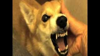 Download 怒るとカスタネットになるおもしろこわいコーギー Video