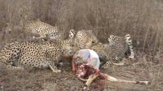 Download Cheetah's at Thornybush Video