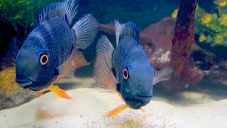 Download Green Severum / Heros efasciatus with fry Video