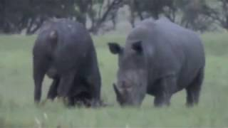 Download Rhino Kills Buffalo in Epic Battle (Africa Style) Video