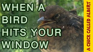 Download Bird in coma, Survives hitting my Window! Video