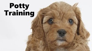 Download How To Potty Train A Cavapoo Puppy - Cavoodle House Training Tips - Housebreaking Cavapoo Puppies Video