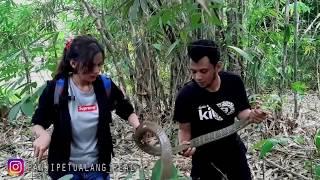 Download KING COBRA INI MARAH KARENA TELURNYA SAYA PEGANG!! Video