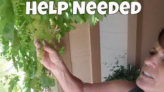 Download What's Up With This Grape Vine? Video
