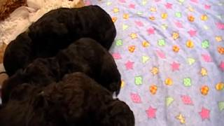 Download Chocolate Labradoodle Puppies for sale Video