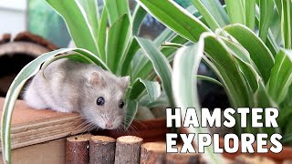 Download Nitrogen The Hamster Explores His New Home! Video