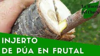 Download CÓMO HACER un INJERTO de PÚA en un árbol FRUTAL. Video