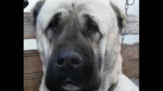 Download World Famous Kurdish Kangal Dog Video