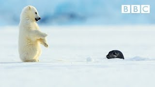 Download Polar bear cub is surprised by a seal - Snow Bears: Preview - BBC One Video