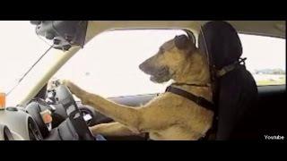 Download Cães e gato engraçados Acting Like Humanos - Animais de estimação engraçados Video