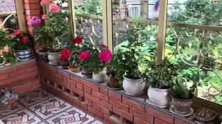 Download Комнатные цветы ( моим гераням более 15 лет ) Video