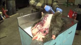 Download Professional Fur Handling, Beaver Part 1 Skinning Video