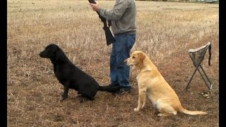 Download Willhe - Labrador Retriever training for HRC Hunt Test Video