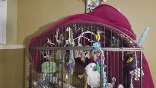 Download Funny Little Boy Cockatoo Joseph Talking Playing Video