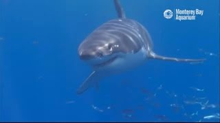 Download White Shark Cafe Cam Video