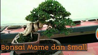 Download Pohon yang Cocok untuk Bonsai Mame dan Small Video