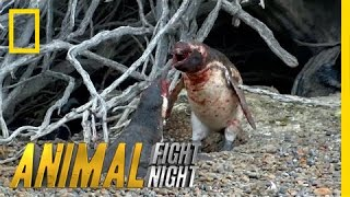 Download Homewrecking Penguin | Animal Fight Night (Original) Video