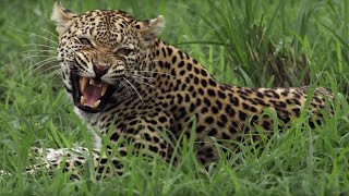 Download Leopard Mother Fights her own Daughter | BBC Earth Video