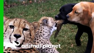 Download Cheetahs and Puppies Grow Up To Become Best Friends | The Zoo Video