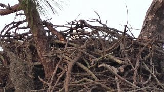 Download SWFL Eagles M15 Incubates As The Morning Wind ″Rock-A-Bye's″ Him & The Eggs 12-09-18 Video