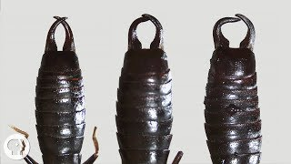 Download What Do Earwigs Do With Those Pincers Anyway? | Deep Look Video