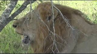 Download April 18, 2017- LION LION says Byron as he comes across one of the Birmingham Males Video