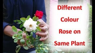 Download Easy way to graft rose: Multiple color flower on single rose plant Video