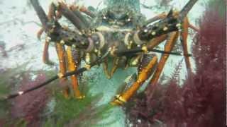 Download Crayfish Freediving Fiordland Video