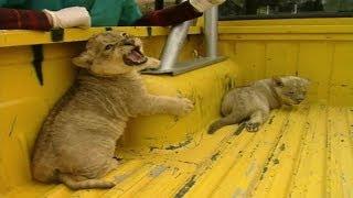 Download Cachorros de león se independizan Video